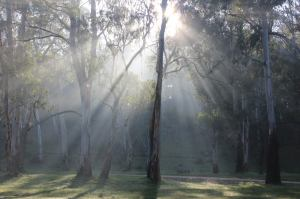 Morning sunlight filtering through the gum trees